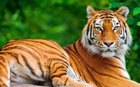 green tiger wallpapers group 70