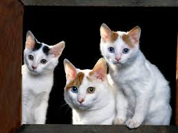 japanese bobtail cat pictures and info