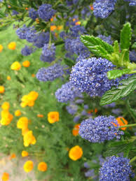 usda native plants ceanothus or california lilac purple blue flowers grows best in