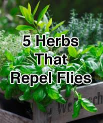 Backyard Fly Repellent 5 Herbs That Repel Flies 1 Basil 2 Bay Leaves 3 Lavender