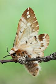 45 best moth images on pinterest moth butterflies and insects