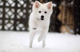 american eskimo dog samoyed cold weather dog breeds what to know