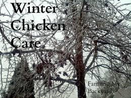 winter chicken care farming my backyard