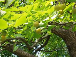 ginkgo biloba benefits tips for growing ginkgo trees trees