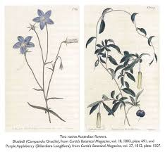 australian native plants with purple flowers two native australian flowers bluebell campanola gracilis from