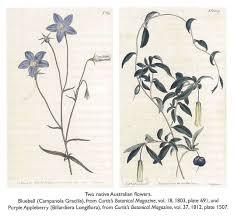 native australian flowering plants two native australian flowers bluebell campanola gracilis from