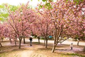 asia chinese beijing yuyuantan park the flower garden cherry