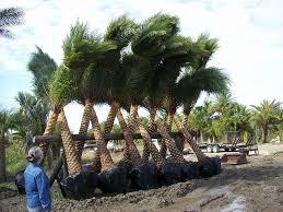 sylvester date palm tree sylvester date palm plantant