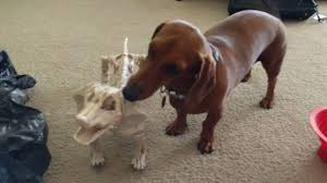dachshunds react to halloween dachshund skeleton decorations youtube