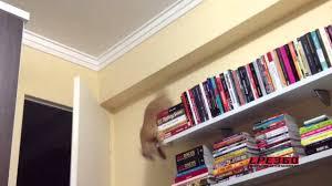 funny cat flips and falls off bookshelf cat fail youtube