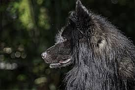 belgian sheepdog registry belgian sheepdog dog breed information pictures characteristics