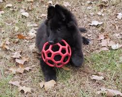belgian sheepdog puppies for sale uk 97 best belgian sheepdogs images on pinterest belgian shepherd