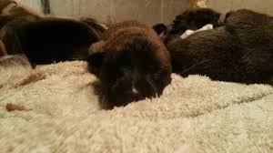 belgian sheepdog florida 12 6 2015 belgian malinois shepherd puppies 1 wk old williston fl