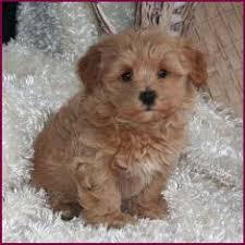 bichon frise in ohio teacup bichon frise yorkie mix google search who let the dogs