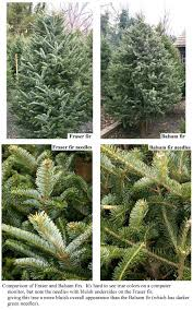 christmas trees gledhill nursery