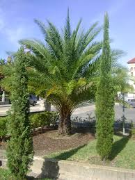 outdoor u0026 garden wonderful robellini palm tree for home