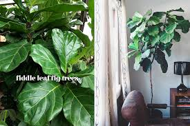 fiddle leaf fig tree care outdoors outdoor designs