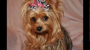haircuts for yorkies cute short yorkie haircuts youtube