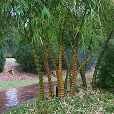 bamboo buddha s belly hello hello plants garden supplies
