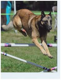 belgian malinois markings 26 best belgian malinois images on pinterest belgian shepherd