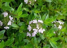 All Year Flowering Shrubs - savory winter satureja montana low growing shrub stays green