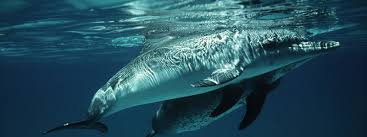 dolphins and porpoises species wwf