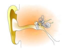 Human Ear Anatomy Quiz The Human Ear