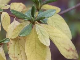 azalea u2013 yellow leaves in winter walter reeves the georgia gardener