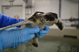what you need to know about the sea turtles of cape cod
