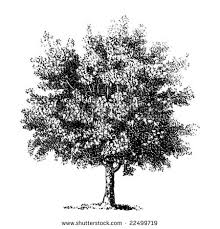 tree etching stock images royalty free images vectors