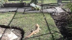iguana teased by bearded dragon youtube