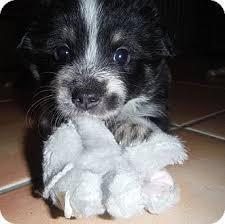 australian shepherd mastiff mix greys litter adopted puppy snoqualmie wa border collie