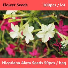 shop winged tobacco nicotiana alata seeds 100pcs tanbaku