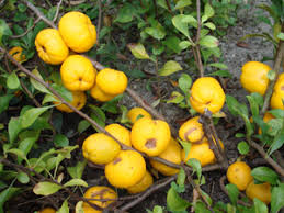 flowering quince chaenomeles hardy fruit trees for orchards
