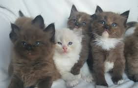 available ragdoll kittens amorpurrfectragdolls