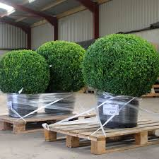 Lollipop Topiary Tree Buxus Sempervirens Box Topiary Balls
