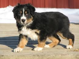 australian shepherd vs english shepherd saved by dogs shepherding collies a collie by another name