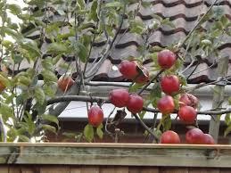 Blackmoor Fruit Trees - apple trees gardening forum gardenersworld com