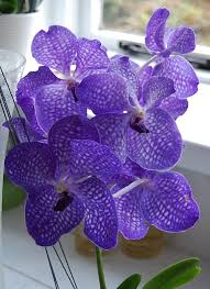 vanda orchids vanda orchid blue magic by mararda on deviantart