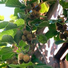 era nurseries buy trees online wholesale australian native kiwi solo plant solo kiwi tree buy kiwi plants online here