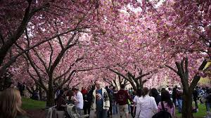cherry blossom pics 13 places to view cherry blossom trees in nyc untapped cities