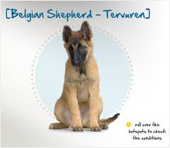 belgian sheepdog and cats belgian shepherd tervuren insurance u0026 breed info petplan