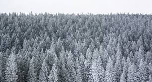 file pine trees covered in snow jpg wikimedia commons
