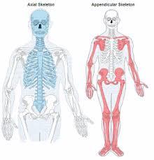 Anatomy Of The Human Skeleton Lesson 2 Appendicular U0026 Axial Skeleton Kelsey Jipp Practicum