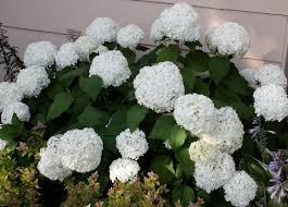 White Flowering Shrub - shrubs