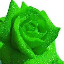 green roses 5 green rosa bush shrub perennial flower seeds