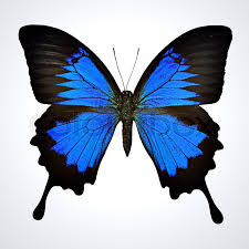 black and blue butterfly on light gray background papilio ulysses