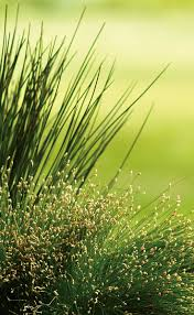 1629 best ornamental grass perennial images on