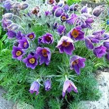 anemone plant pasque flower seeds anemone pulsatilla vulgaris flower seed