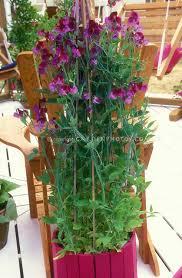 Container Gardening Peas - lathyrus odoratus u0027cupani u0027 sweet peas in matching container on